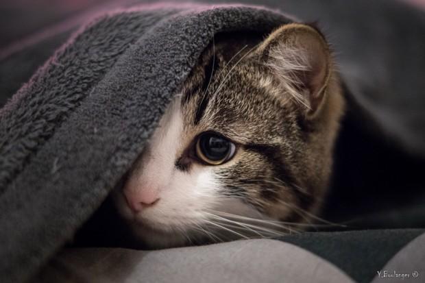 chat sous plaid Yohann Boulanger Photographe